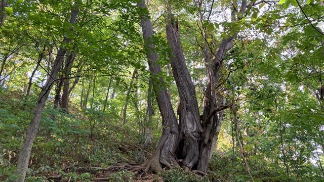 カツラの木2